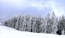 Panorama of chrismas trees under snow Royalty Free Stock Images