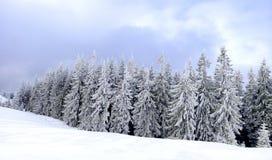 Panorama of chrismas trees under snow. Panorama of chrismas trees under heavy snow Royalty Free Stock Images