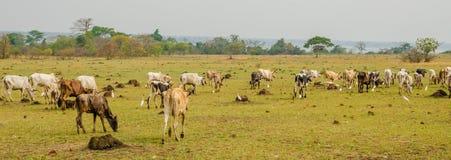 Panorama chuderlawy Afrykański bydła stada pasanie i odprowadzenie na zieleni polu w Z kości słoniowej wybrzeżu, afryka zachodnia Fotografia Royalty Free