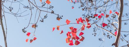 Changing color during fall season in Houston, Texas, USA. Panorama, close-up vibrant leaves changing color during fall season in Houston, Texas, US. Natural Stock Images