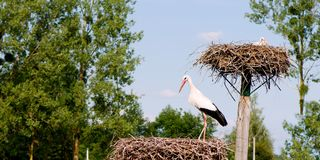 Panorama- closeup av en vit stork i ett rede arkivbilder