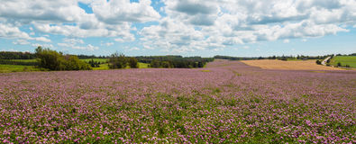Panorama of clover flowers in bloom Royalty Free Stock Photo