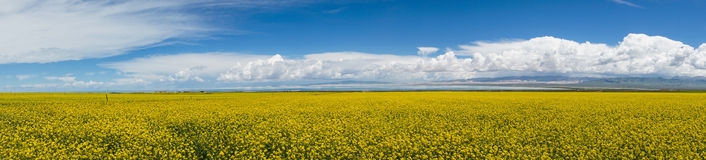 Panorama of cole flower landscape Royalty Free Stock Photos