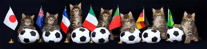Panorama collage of kitten with soccer balls. Collage composite panorama of Maine Coon kittens with soccer balls and country flags Stock Image
