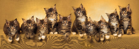Panorama collage of Maine Coon kittens. Composite collage panorama of Maine Coon kittens with gold colour filter Stock Image