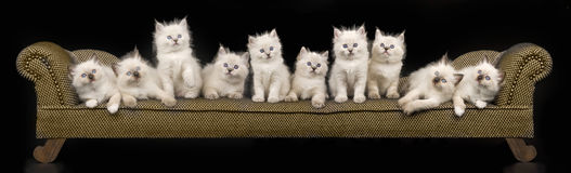 Panorama collage of Ragdoll kittens. Composite collage panorama of Ragdoll kittens on miniature couch royalty free stock photos