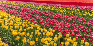Panorama of a colorful tulips field in Flevoland Royalty Free Stock Photos