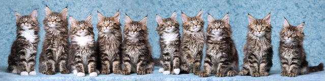 Panorama composite of Maine Coon kittens. Panorama composite of ten Maine Coon kittens on blue background Stock Image