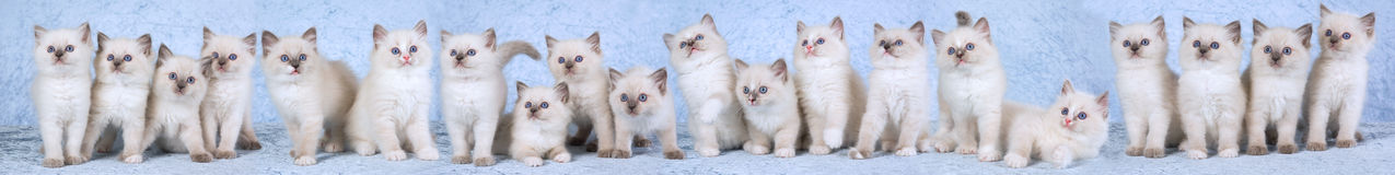 Panorama composite of Ragdoll kittens Stock Photo