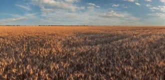 Panorama con el campo de trigo soleado fotos de archivo libres de regalías