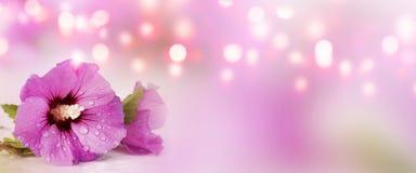 Panorama con el hibisco púrpura Fotos de archivo libres de regalías
