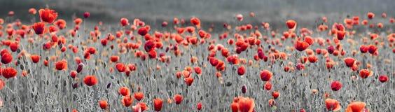 Panorama con i papaveri rossi, colore selettivo, soltanto rosso e nero fotografie stock libere da diritti