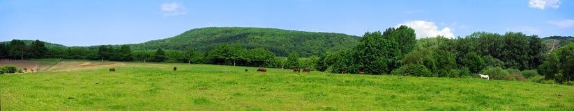 Panorama con los caballos Fotos de archivo