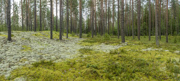 Panorama of coniferous forest with colorful moss and lichen. Royalty Free Stock Image