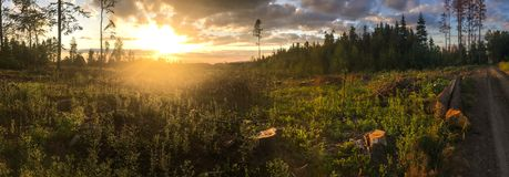 Panorama of a coniferous forest in warm late evening light. With setting sun royalty free stock photography