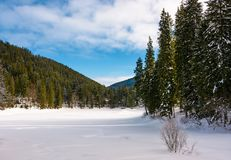 Panorama of coniferous forest in winter. Beautiful scenery of Synevyr National Park, Ukraine on a cloudy day royalty free stock photography
