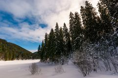 Panorama of coniferous forest in winter. Beautiful scenery of Synevyr National Park, Ukraine on a cloudy day Royalty Free Stock Images
