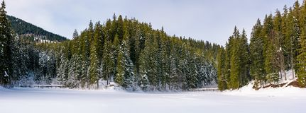 Panorama of coniferous forest in winter. Beautiful scenery of Synevyr National Park, Ukraine Stock Photography