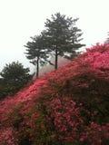 Panorama cor-de-rosa das azáleas Fotos de Stock