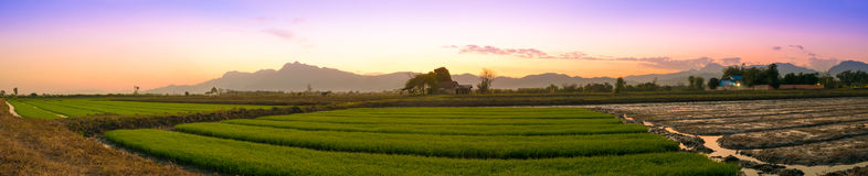 Panorama cornfield in Twilight time. Royalty Free Stock Image