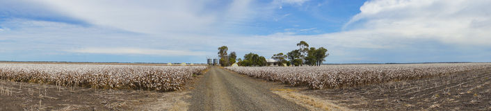 Panorama of Cotton Fields Ready For Harvesting in Australia Royalty Free Stock Photo