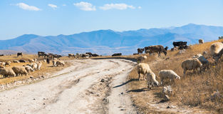 Panorama with country road and flock of sheep Stock Photography
