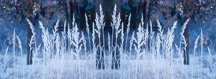 Panorama of covered by snow dry spikelets. Selective focus Royalty Free Stock Photo