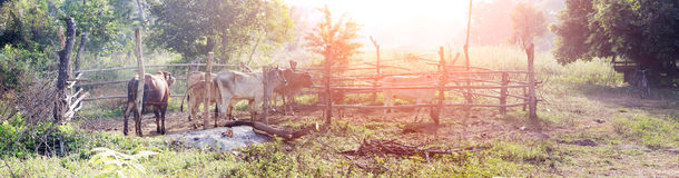 Panorama cow with rural wood cage Royalty Free Stock Photos
