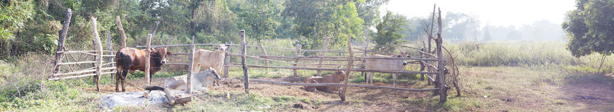 Panorama cow with rural wood cage Stock Photos