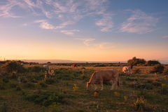 Panorama with cows Royalty Free Stock Image