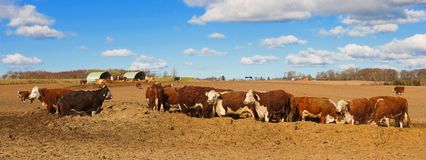Panorama cows Stock Photos
