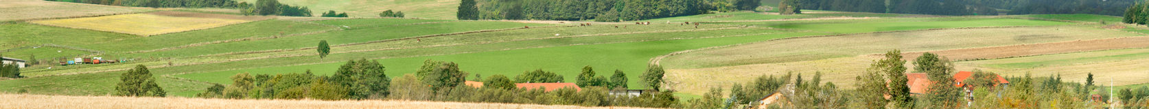 Panorama of cows on a meadow between plowed fields in the heels Royalty Free Stock Image