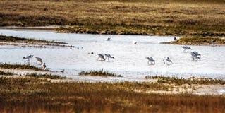 Panorama d'avosetta de Recuvirostra d'avocettes à la réservation d'oiseau de Rye, East Sussex, Angleterre image libre de droits