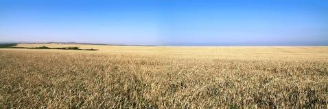 Panorama d'un champ blond comme les blés Photo stock