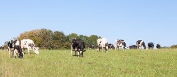 Panorama d'un troupeau de pâturage de chat noir et blanc de laiterie du Holstein Photos libres de droits