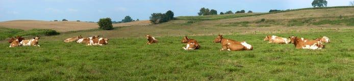 Panorama da bandeira do campo do pasto das vacas de leiteria panorâmico Foto de Stock