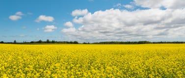 Panorama da colza amarela do campo (costa verde dos frontões, príncipe Ed imagens de stock