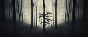 Panorama da floresta com névoa e luz misteriosas Imagem de Stock Royalty Free