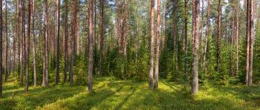 Panorama da floresta do abeto do verão imagem de stock