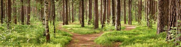 Panorama da floresta do pinho Fotografia de Stock