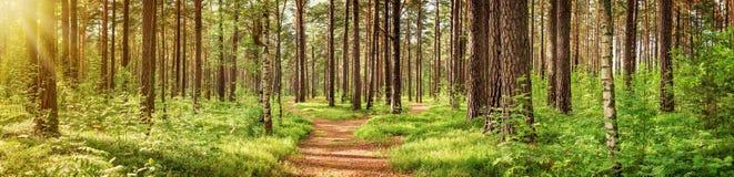 Panorama da floresta do pinho imagens de stock