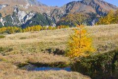 Panorama da montanha, em outubro, com larício e a montanha pinespanoramic, com o larício amarelo pequeno e a lagoa pequena fotografia de stock