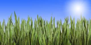 Panorama da parede da grama com o céu azul e o sol limpos Foto de Stock Royalty Free
