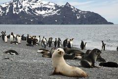 Panorama da praia com lobo-marinho antártico branco no primeiro plano foto de stock