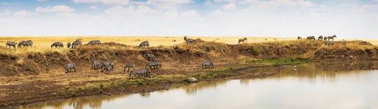 Panorama da zebra no rio de Mara em África imagens de stock royalty free