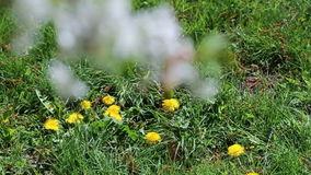 Panorama from the dandelions at the branch of the cherry blossoms. stock footage
