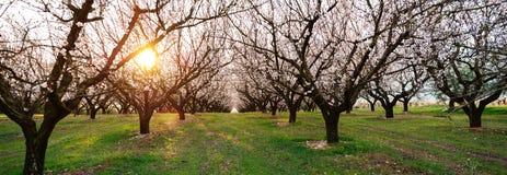 Panorama das árvores de amêndoa da flor imagem de stock