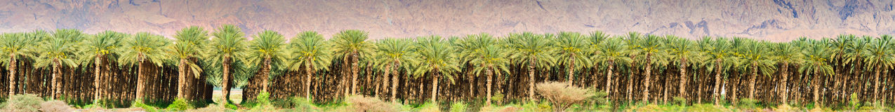 Panorama of date palms near Eilat. Date palms have an important place in advanced desert agriculture in Israel Stock Photography