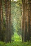 Panorama de árboles hermosos en el bosque de la primavera Foto de archivo libre de regalías