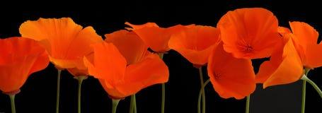 Panorama de amapolas anaranjadas fotos de archivo libres de regalías
